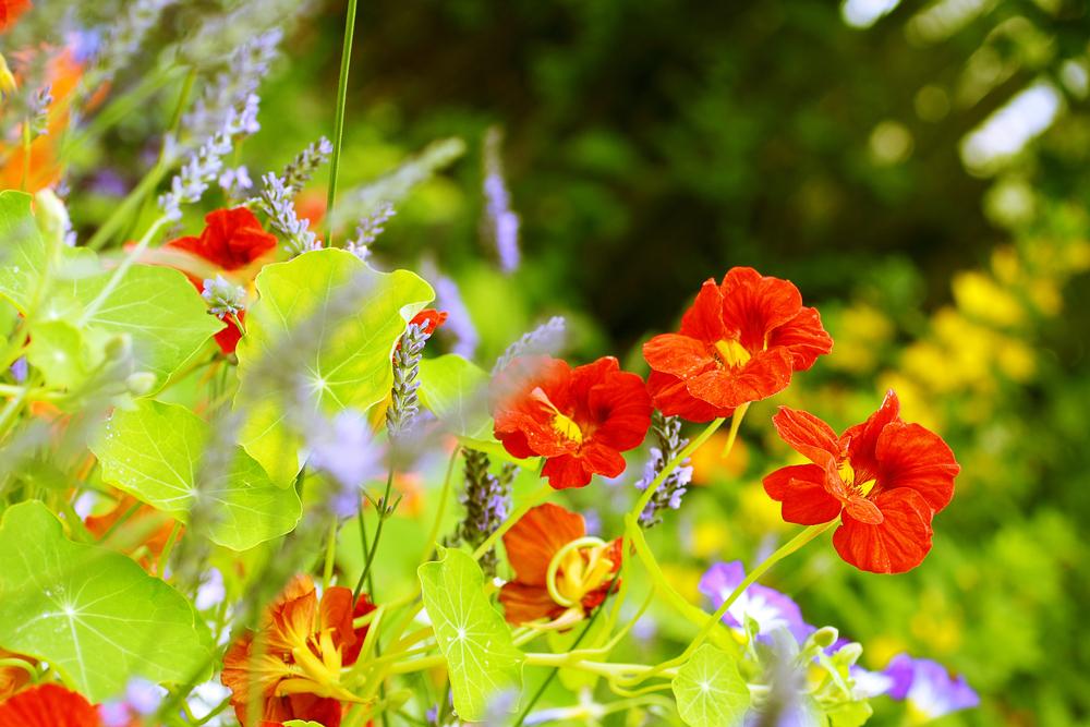 ナスタチウム 金蓮花 キンレンカ