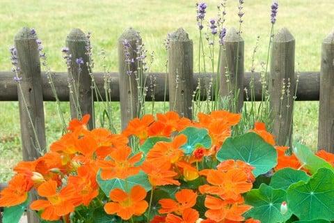 ナスタチウム 金蓮花 キンレンカ 地植え