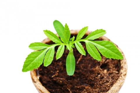 菊 キク 苗 鉢植え