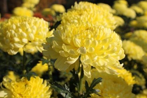 キク 黄色 食用菊