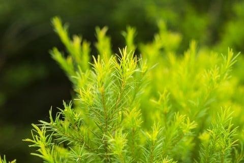 ティーツリー メラレウカ 地植え 葉