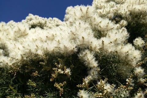 ティーツリー メラレウカ 地植え 花