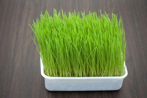 ネコグサ 猫草 オーツ麦 栽培