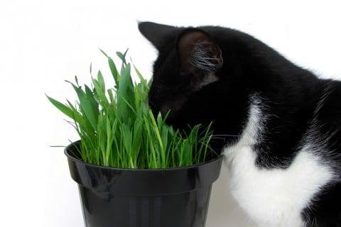 ネコグサ 猫 草 オーツ麦