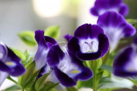 トレニア 地植え 花