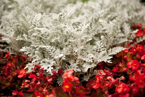 シロタエギク ダスティーミラー 地植え 花