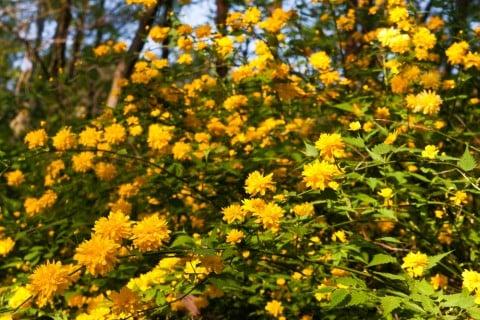 ヤマブキ 山吹 地植え 花
