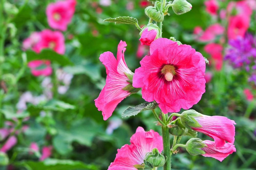 葵(タチアオイ/ホリホック)の花言葉!見頃の季節や開花時期は ...