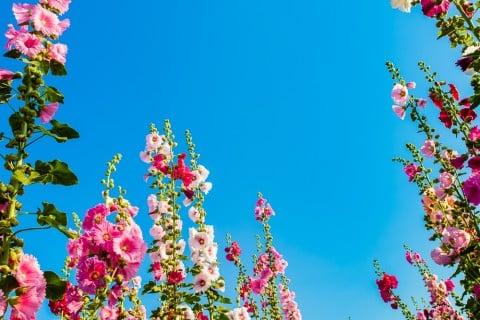 タチアオイ(ホリホック/葵)の育て方!種まきや苗植えの方法は ...