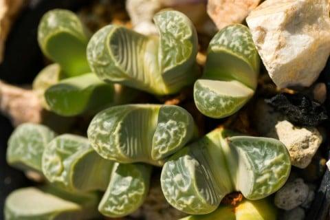 多肉植物 リトープス(メセン)