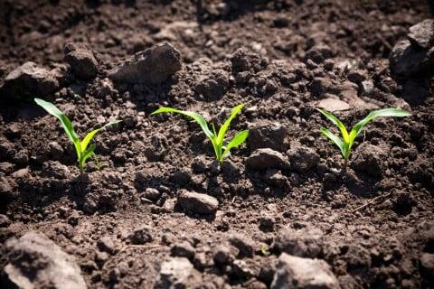 トウモロコシ 苗 土