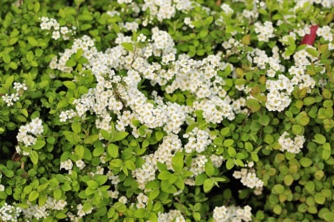 ユキヤナギ 地植え 花 葉