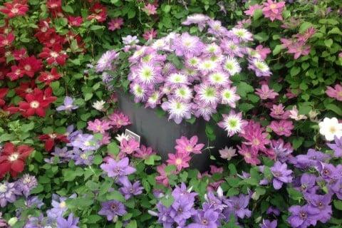 クレマチス 花 種類 寄植え