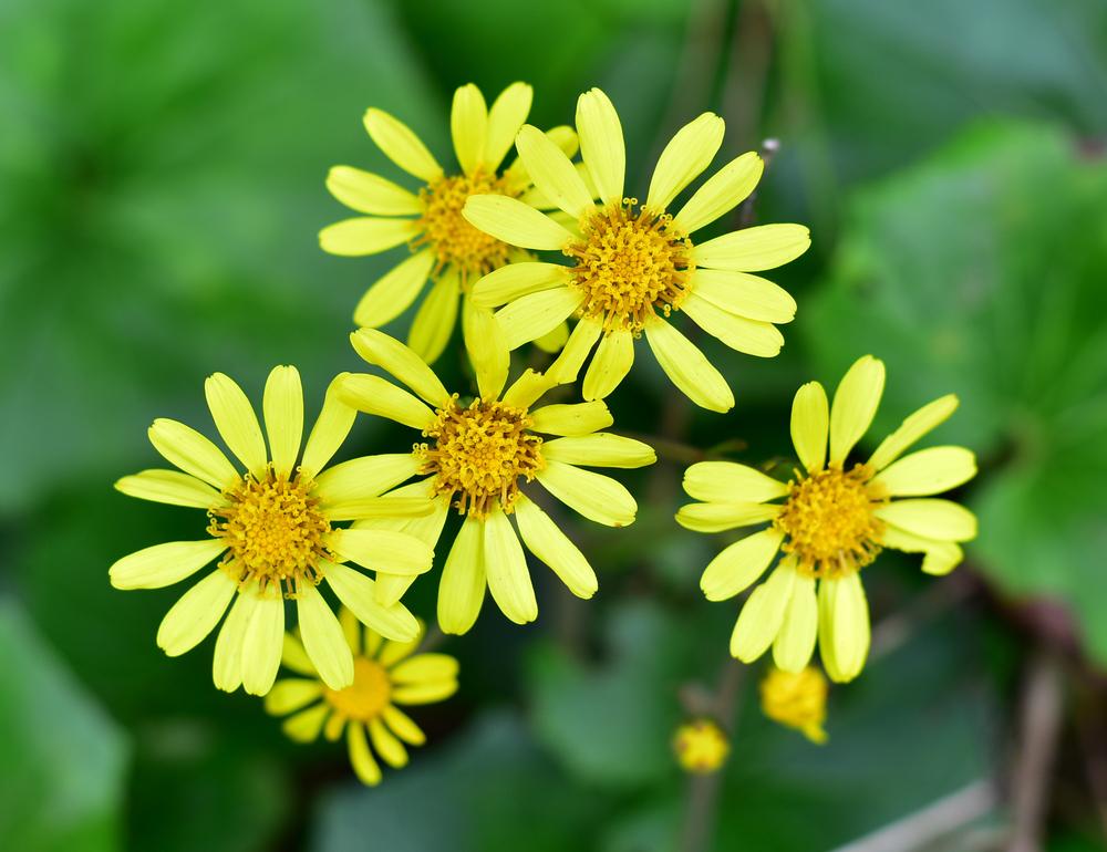 ツワブキ 地植え 花