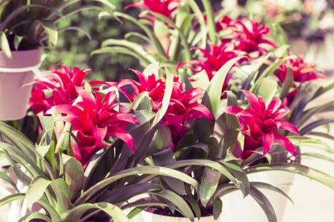グズマニア 花