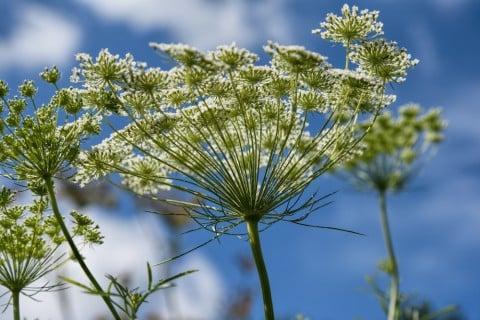 アシタバ 花