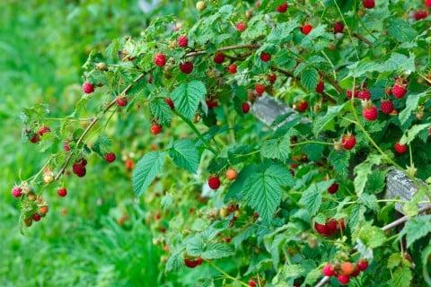 キイチゴ ラズベリー