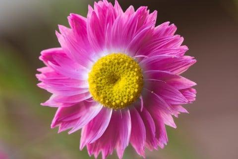 ローダンセ 花