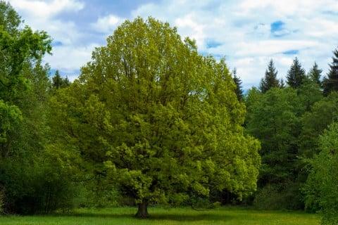 ライム 木