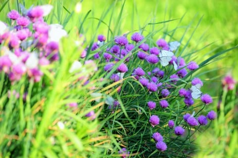 チャイブ 花