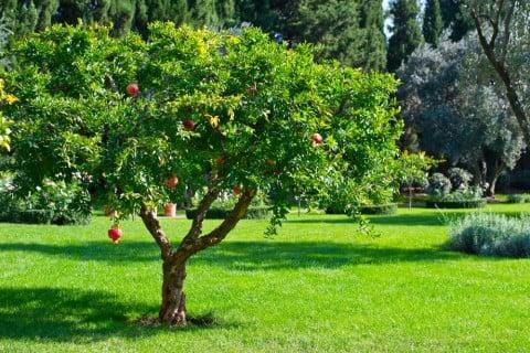ザクロ 実 木