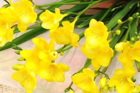 要出典 フリージア 黄色 楽天