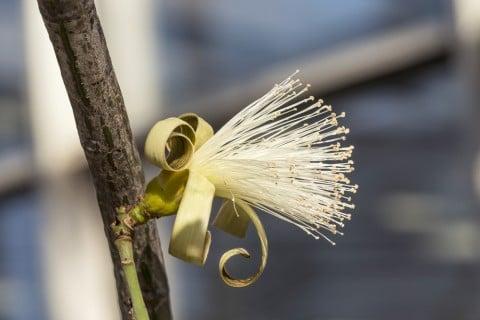 パキラ 白花