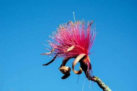 パキラの花 ピンク