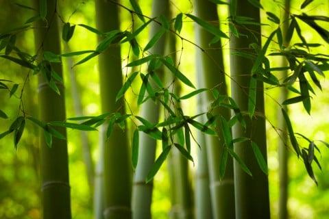 竹 バンブー タケ