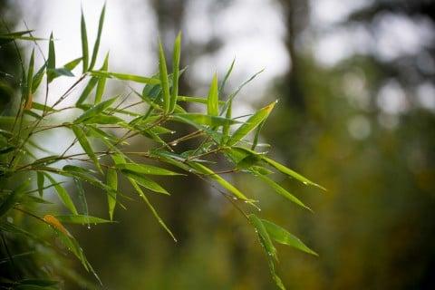 竹 バンブー