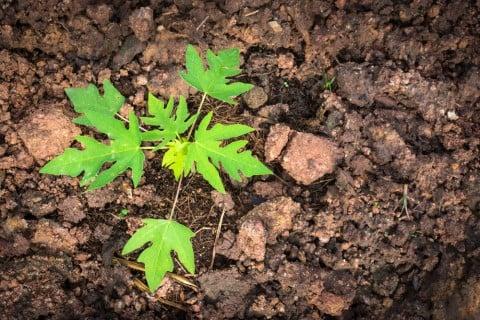 育て パパイヤ 方 の (超豊作!)パパイヤを種から育ててみた♪