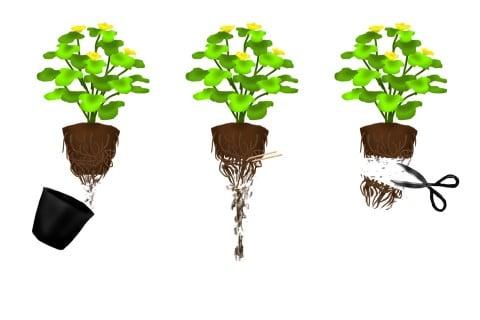 植え付け 植え替え 鉢植え 根鉢_イラスト