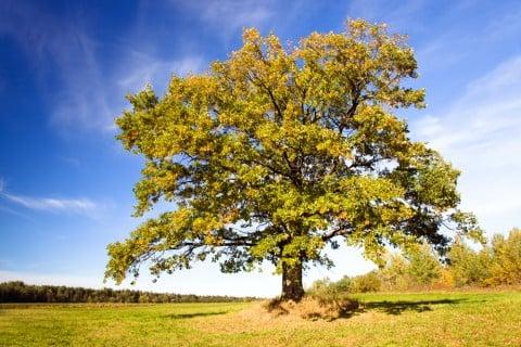 マテバシイ ドングリの木