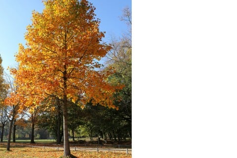 ユリノキ 百合の木2