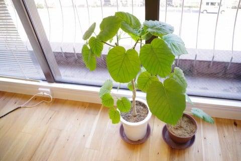 フィカス・ウンベラータ 鉢植え 窓際