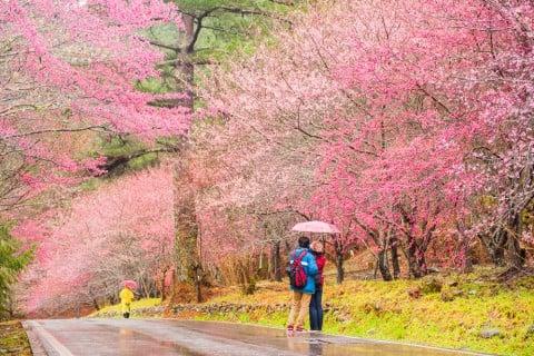 Taiwan cherry カンヒザクラ ヒカンザクラ