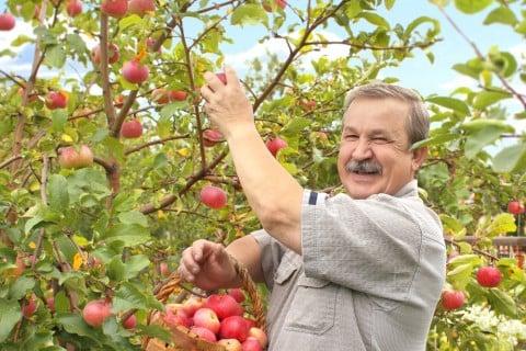 収穫 リンゴ 庭木
