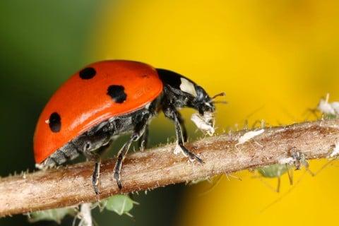 てんとう虫 天敵 アブラムシ 防虫 虫対策