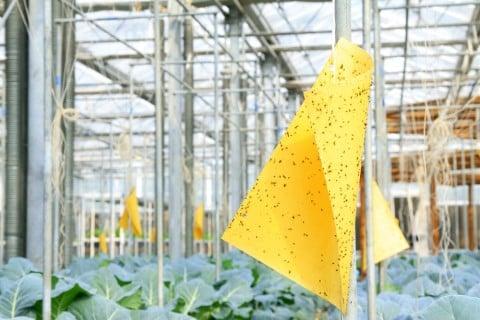 黄色 アブラムシ 防虫 虫対策