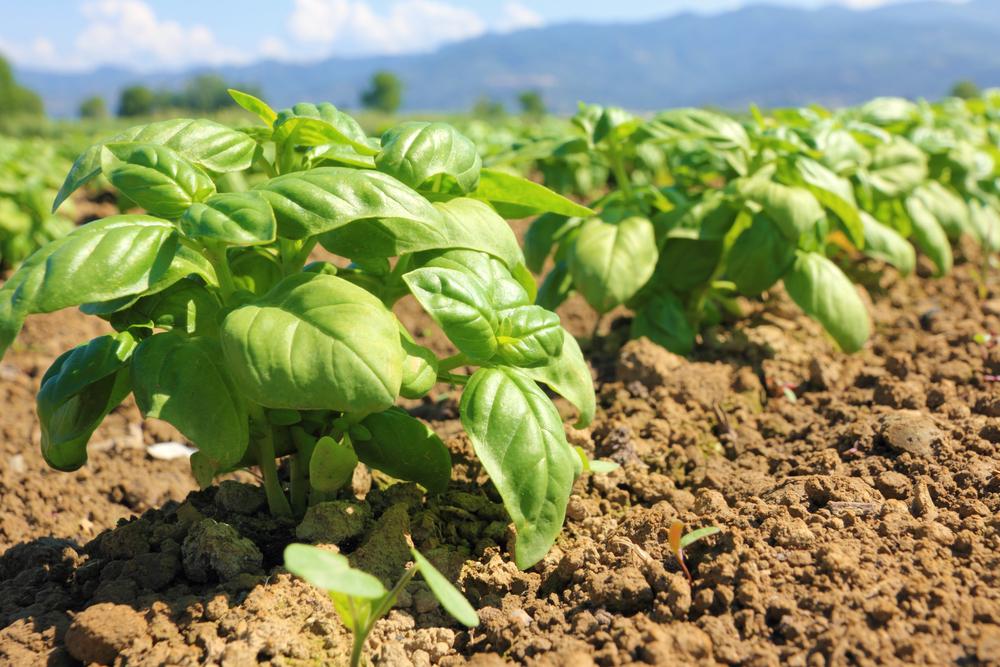 バジル ハーブ 栽培 種まき 地植え