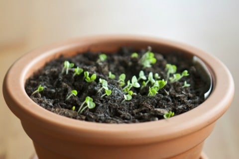 育苗 種まき バジル