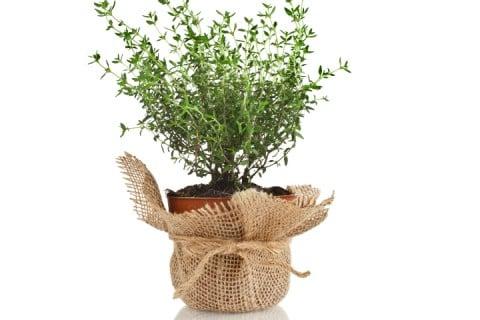 ラベンダー 植木鉢 ラッピング 麻布