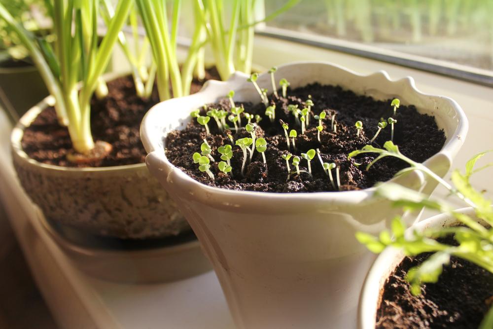 バジル ハーブ 栽培 種まき