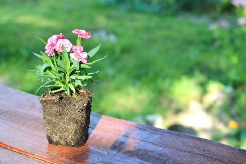 カーネーション 鉢植え