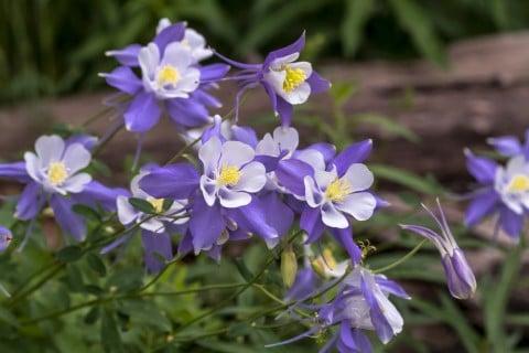 ガーデニングには、西洋オダマキという園芸用に作られた品種がよく利用されます。紫の花が多いですが、白やピンクと花色のバリエーションがあるので、群生させると