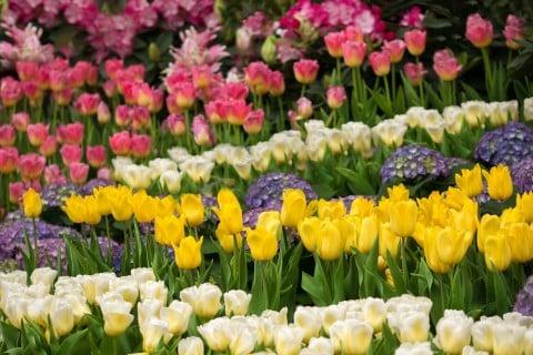 チューリップ 畑 寄せ植え 花壇 種類 品種