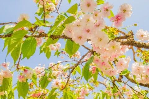 カスミザクラ 霞桜 花びら