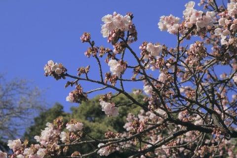カンザクラ 寒桜