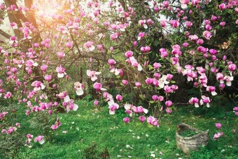 モクレン 花 庭