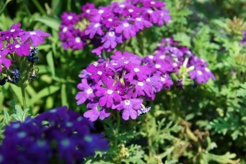 バーベナ 地植え 紫